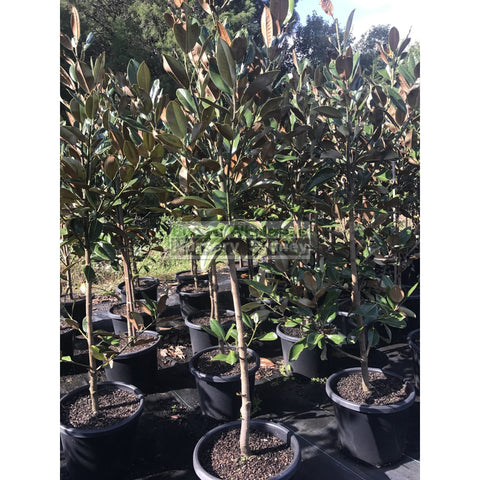Magnolia grandiflora Exmouth 400mm Pot / 45L bag