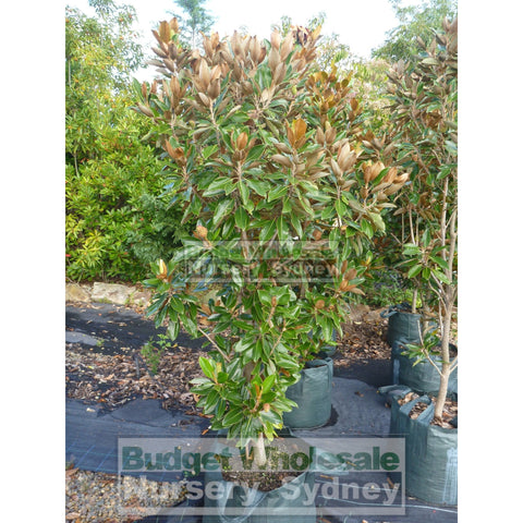 Magnolia Little Gem Xxxxlarge 100Lt Pot/bag Plants