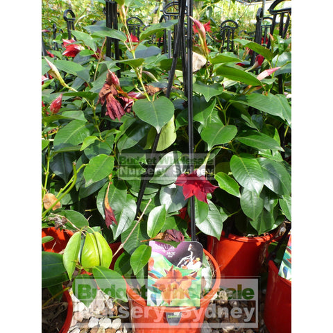 Mandevilla Diamantina Red Brazillian Jasmine 200mm Pots