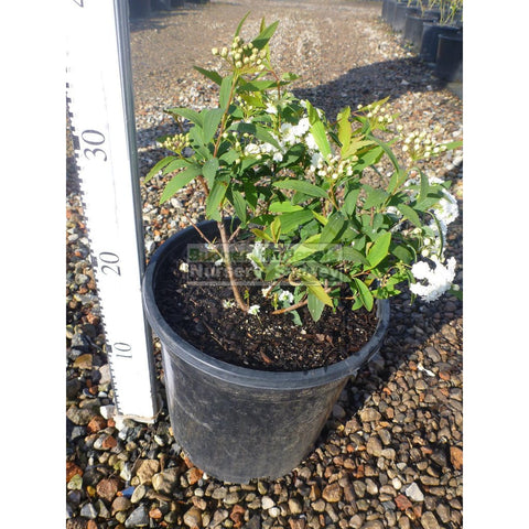 May Bush Spiraea Cantoniensis 200mm Pot
