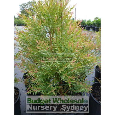 Melaleuca Linariifolia Snow In Summer 200mm pot