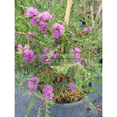 Melaleuca Thymifolia 200Mm Pot Plants