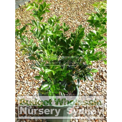 Murraya Paniculata (Orange Jasmine) Large 250Mm Pot Plants
