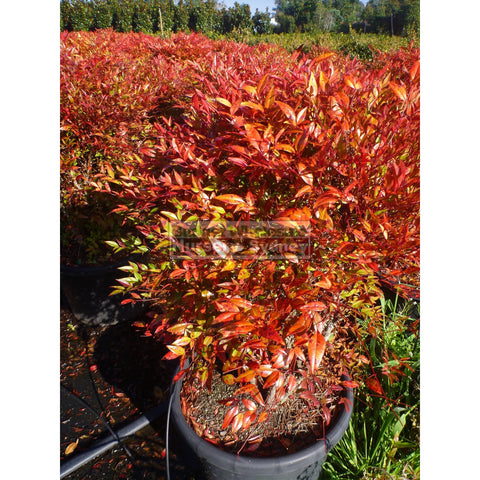 Nandina Moonbay Large 300mm pots