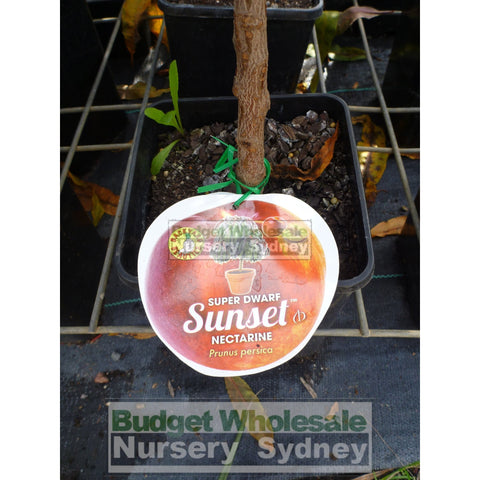 Nectarine Sunset Super Dwarf 4ltr