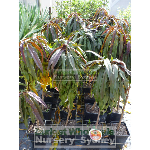Nectarine Sunset Super Dwarf 4Ltr Default Type