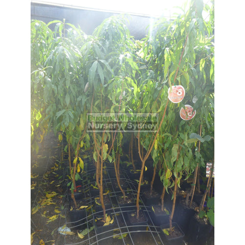 Peach Tree Dwarf White Gold 4ltr