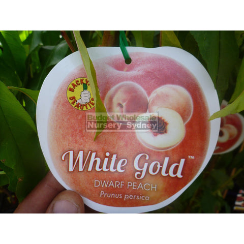 Peach Tree Dwarf White Gold 4Ltr Default Type