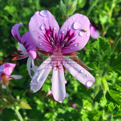 Pelargonium Crispum 140Mm Pots Lemon Scented Geranium Plants