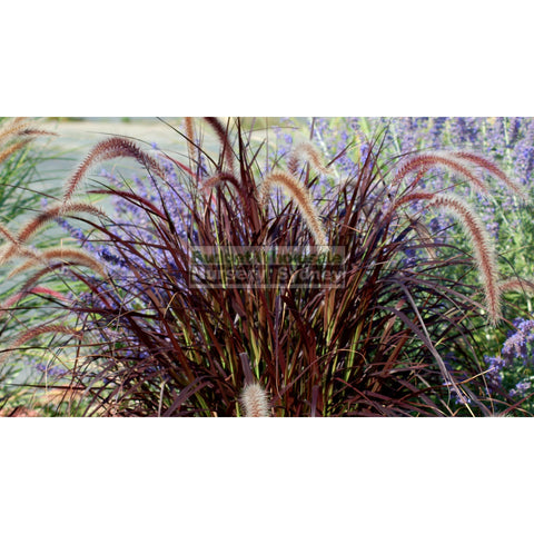 pennisetum advena rubrum (Purple Fountain Grass) 140mm
