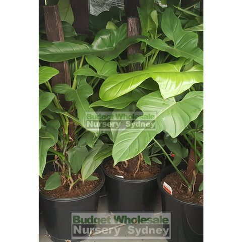 Philodendron Panduriforme 250mm Totem