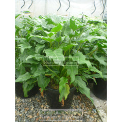 Philodendron Xanadu Xlarge 300Mm Pots. 25L Pot Plants