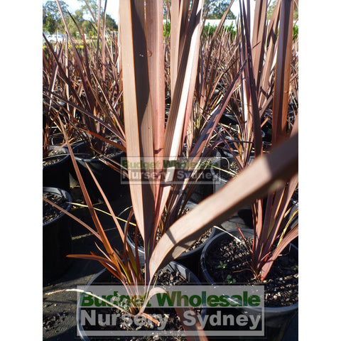 Phormium Bronze Warrior 200mm New Zealand Flax Purple 200MM Pot. Phormium tennax purpurea Full Sun or Part Shade. Drought Tolerant