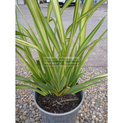 Phormium Yellow Wave 170mm Pot NZ Flax
