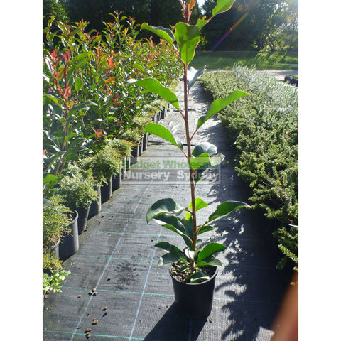 Photinia Red Robin Small 140Mm Pot. Plants