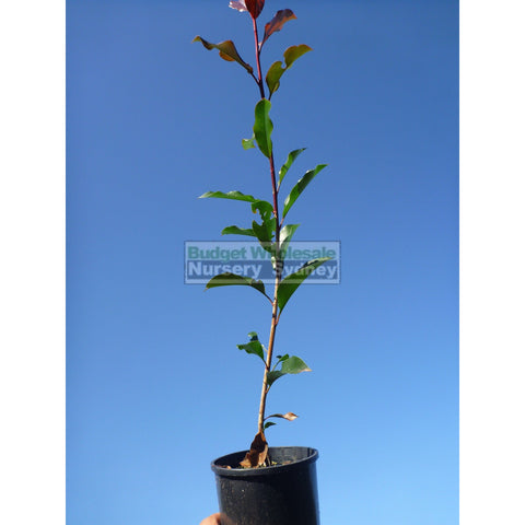 Photinia Red Robin small 140mm Pot.