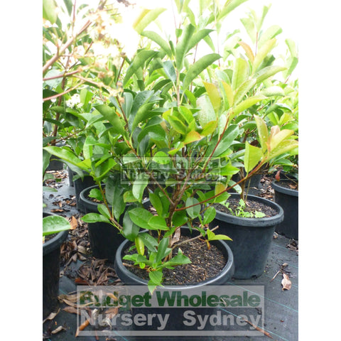 Photinia Robusta 300Mm Pot Plants