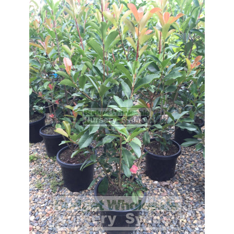 Photinia Robusta 300mm Pot
