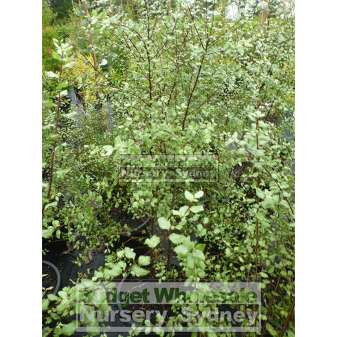 Pittosporum James Sterling Large 300mm Pots