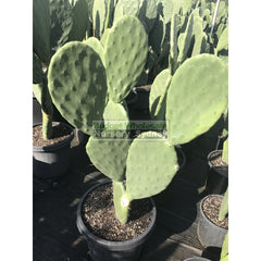 Prickly Pear Plant Xlarge 300Mmc Pot Opuntia Default Type