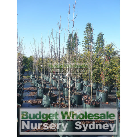 Pyrus calleryana Capital 25L Ornamental Pear