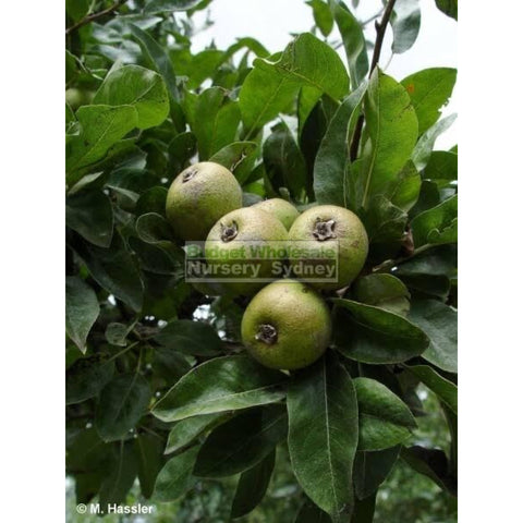 Pyrus nivalis 25L / 300mm pot Snow Pear Tree