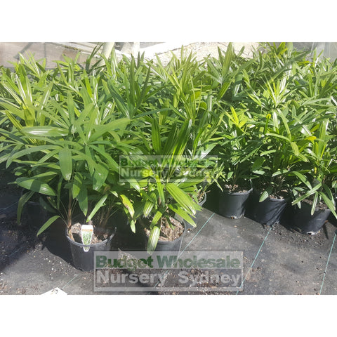 Rhapis Palm Large 300Mm Pot Excelsa Default Type