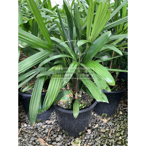 Rhapis palm Medium 250mm pot Rhapis excelsa