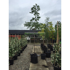 Robinia Pink 75Lt Default Type