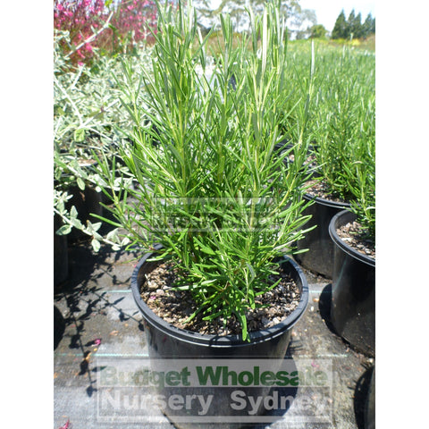 Rosemary Officinalis 140mm Pot
