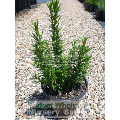 Rosemary Tuscan Blue 200mm Pot