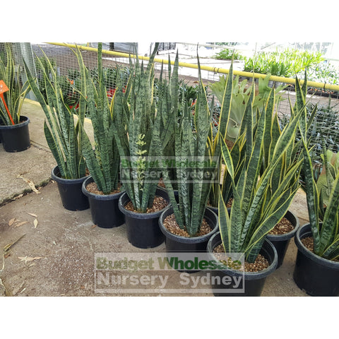 Sansevieria Trifasciata Laurentii - Mother In Laws Tongue 300Mm Pots Plants