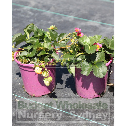 Strawberry Plant FRAGOO PINK. 140mm pots