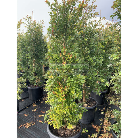 Syzygium Backyard Bliss Xxxlarge 500Mm Pot / 75L Bag Lily Pilly Plants