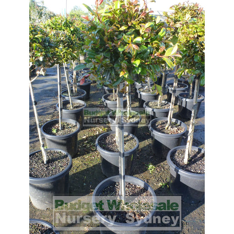 Syzygium Resilience Standard 300Mm Pot Topirary (Lollipop Plant) Plants