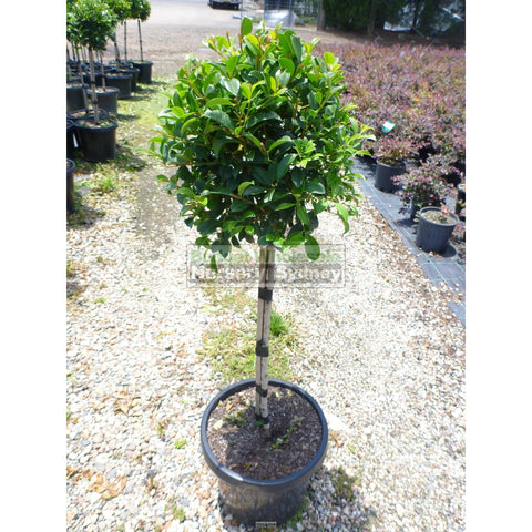Syzygium Resilience Standard 300mm Pot Topirary (Lollipop plant)