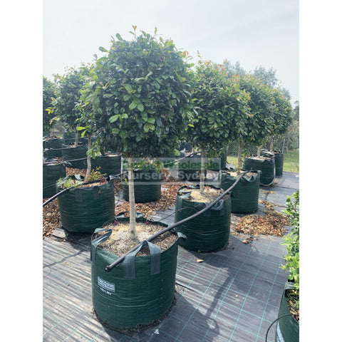 Syzygium Resilience Standard Topirary (Lollipop plant) 150L bag Pot SUPER SPECIAL