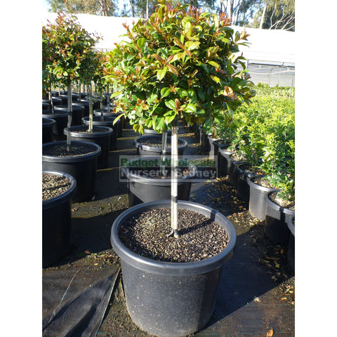 Syzygium Resilience Standard Topirary (Lollipop Plant) Xxxl 500Mm Pot Super Special Plants