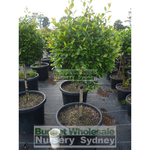 Syzygium Resilience Standard Topirary (Lollipop plant) XXXL 500mm Pot SUPER SPECIAL