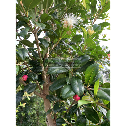 Syzygium Resilience Super Advanced 75Lt Bag 500Mm Pot Plants
