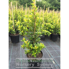 Syzygium Select Form (Psyllid Resistant Variety) 200Mm Pot Plants