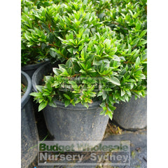 Syzygium Tiny Trev 140Mm Pot Plants