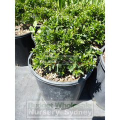 Syzygium Tiny Trev 200Mm Pot Plants