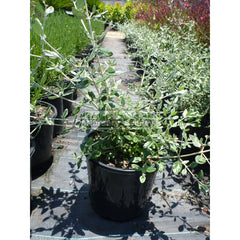 Teucrium Fruticans 200Mm Pot Gift Card