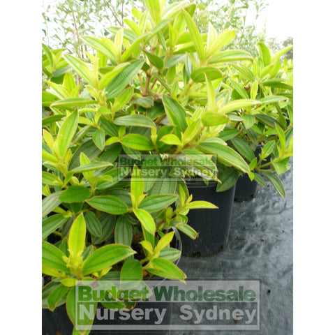 Tibouchina Jules 200Mm Pot Plants