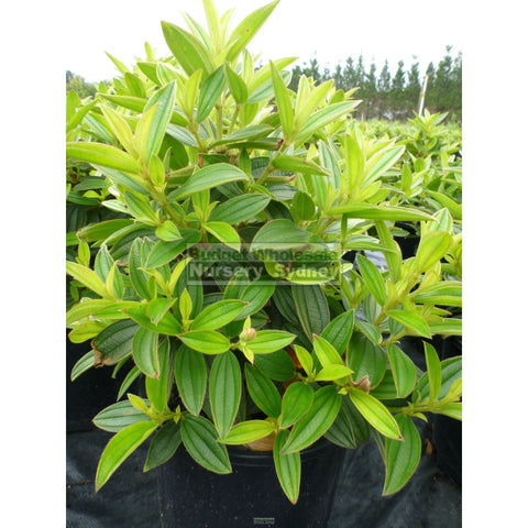 Tibouchina Jules 200mm Pot
