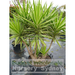 Yucca Advanced 500Mm Pot Plants