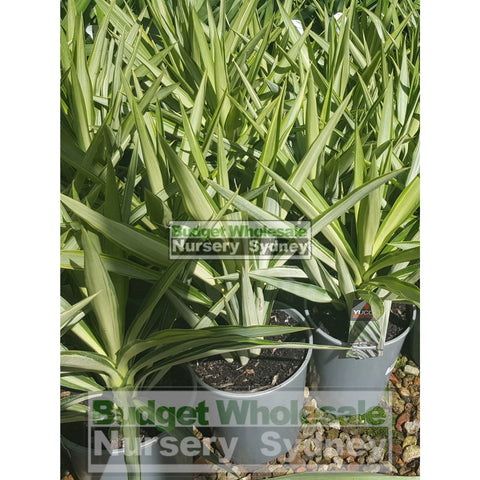 Yucca Elephantipes Silver Star 200Mm Default Type