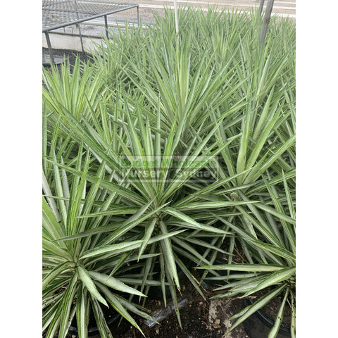 Yucca Elephantipes Silver Star Large 300Mm Pots Default Type