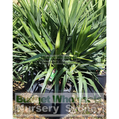 Yucca Elephantipes Super Advanced 150L Pot Plants